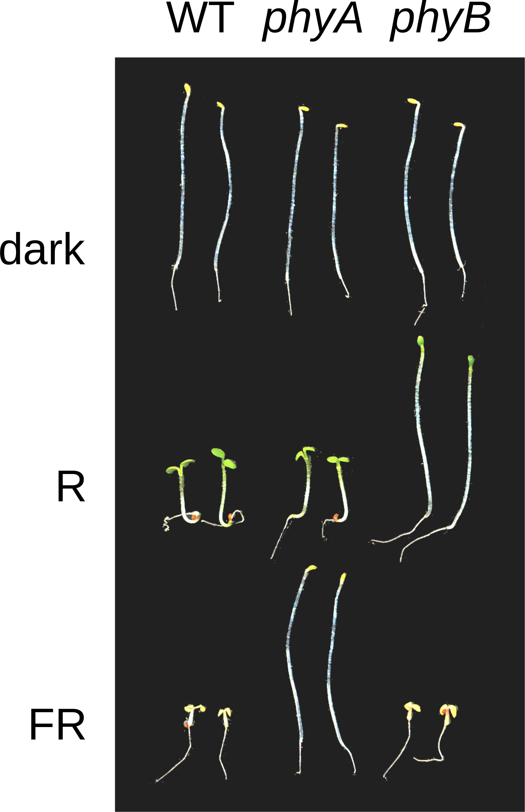 Fig. 1: Phytochrome mutant seedlings in D, R, and FR
