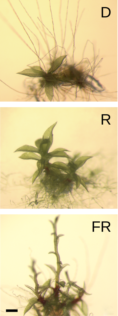 Fig. 6: Physcomitrella patens grown under different light conditions.